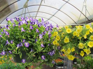 Torenia and Million Bells baskets!