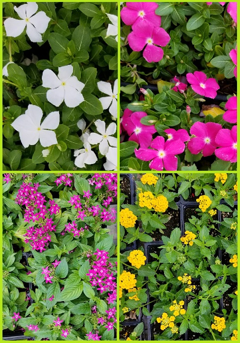 Flats of vincas, pentas and lantana.