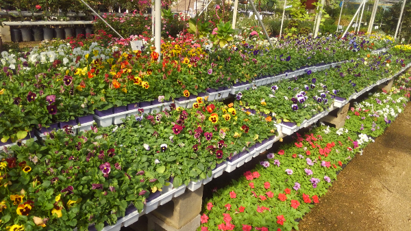 Pansies, Violas, Petunias and Snapdragons at Madison Gardens Nursery ...