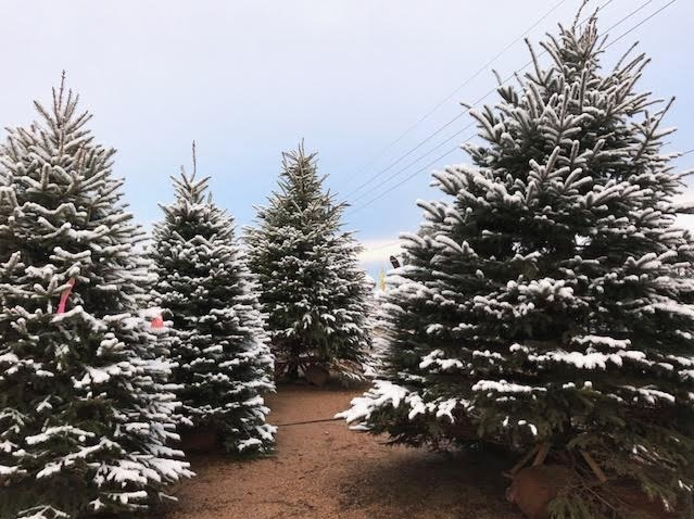 Christmas Trees covered with real snow at J&J Nursery!