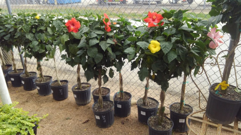 Beautiful hibiscus trees!