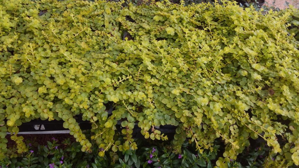 Bright green creeping jenny!