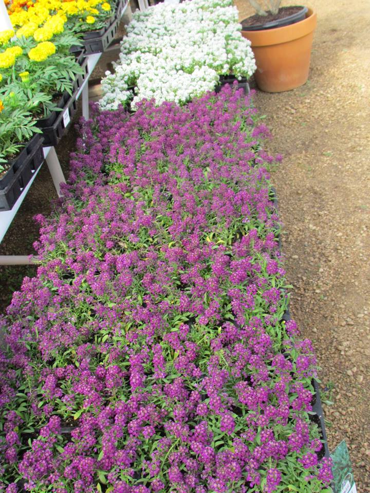 Stunning Alyssum. brightens up flower beds and hanging baskets!
