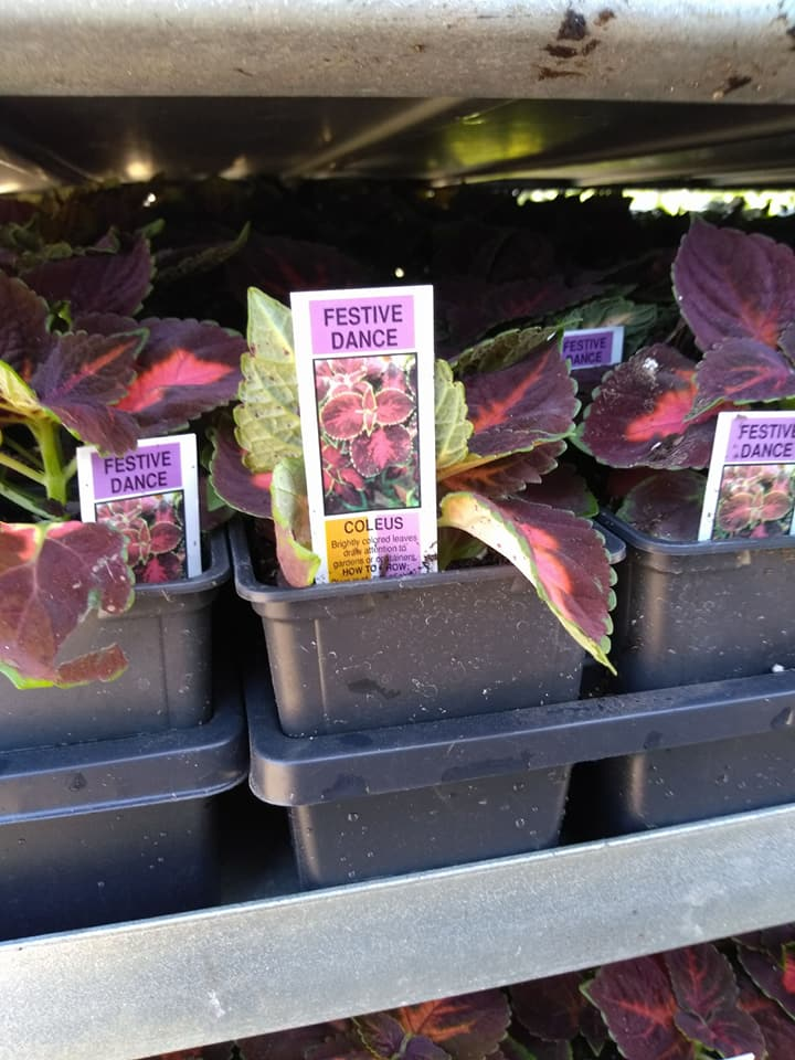 Beautiful coleus plants.