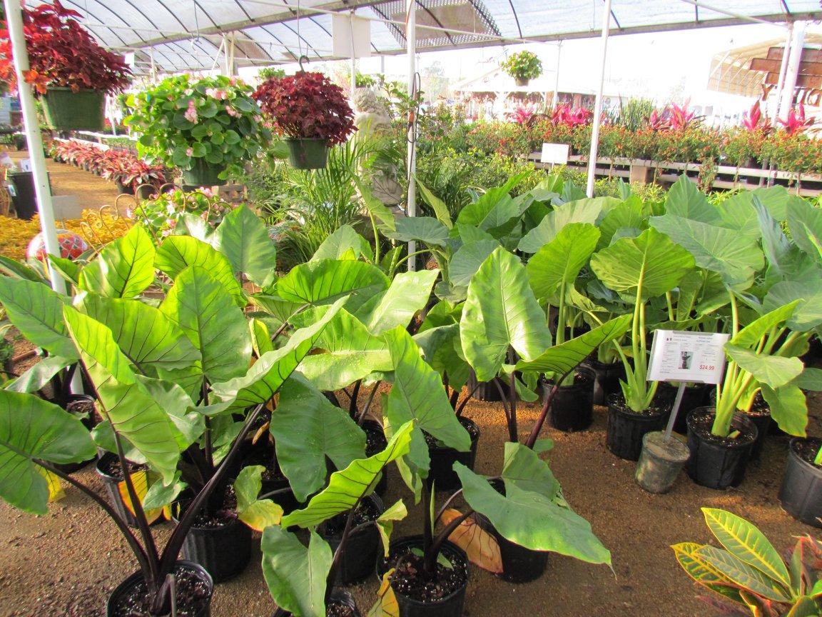 Elephant Ear plant! Some have stunning dark stem.