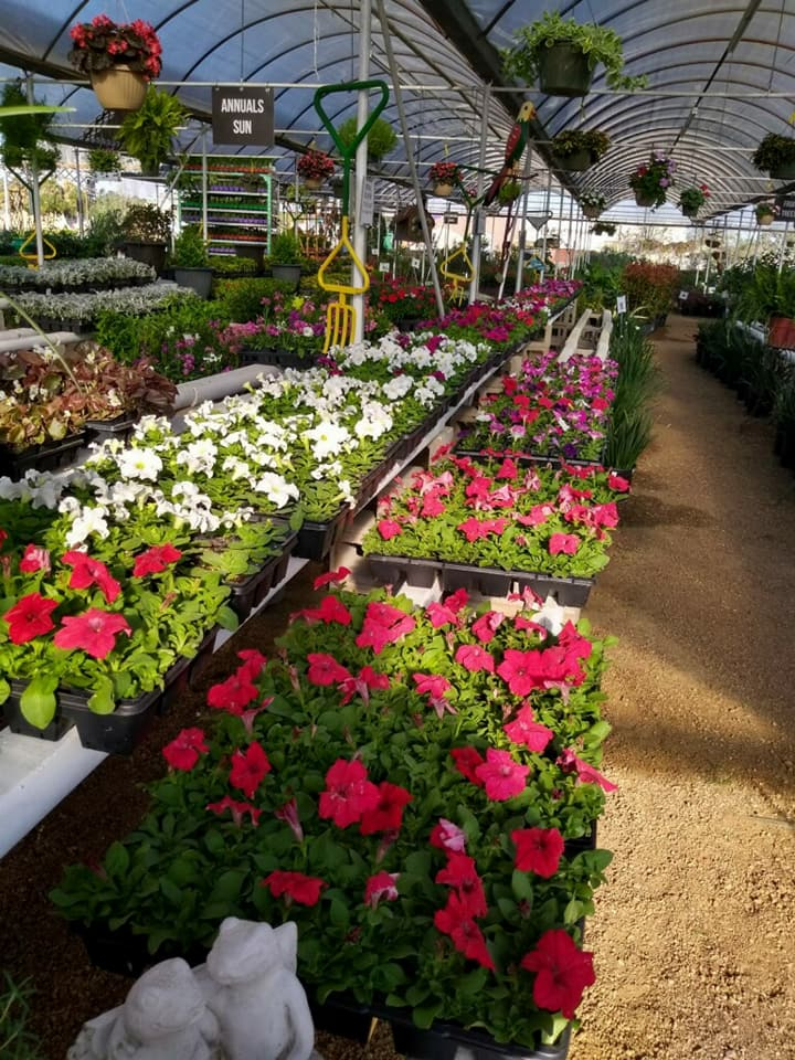 Flats of colorful petunias.