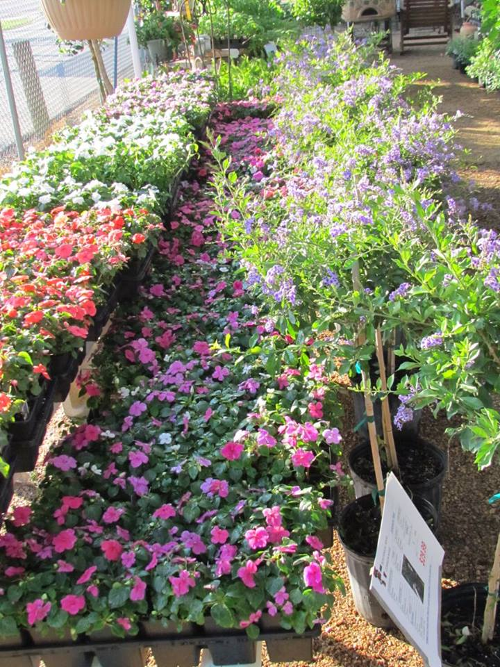 Flats of color including begonia, impatiens and more! New stock continuously updated!