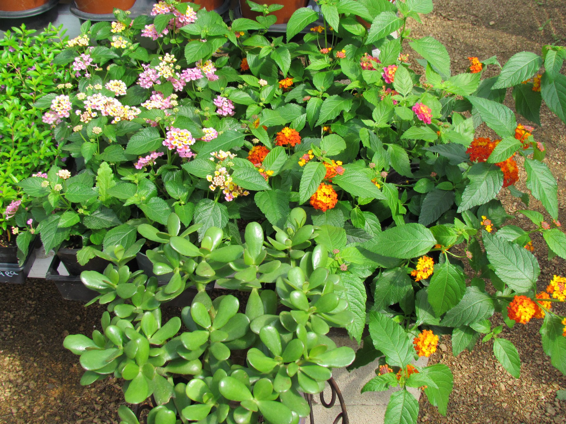 lantana-jade-mexican-heather