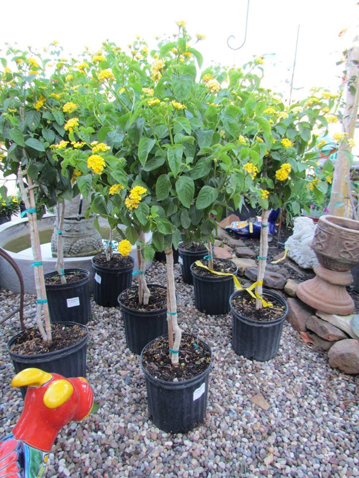 Lantana trees for your butterfly garden!