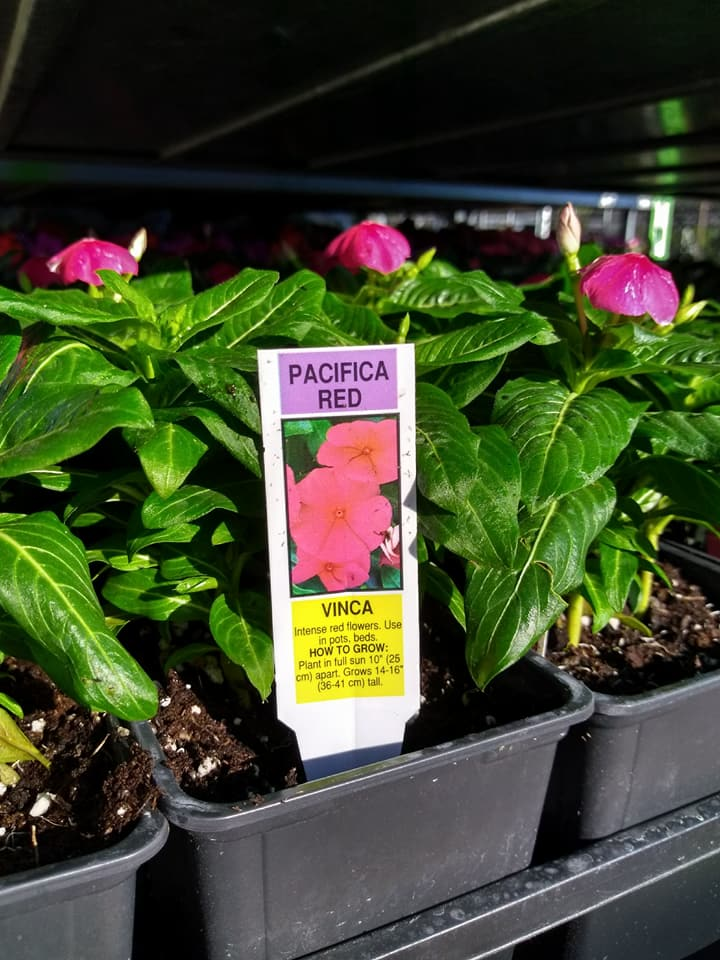 Vincas are here!