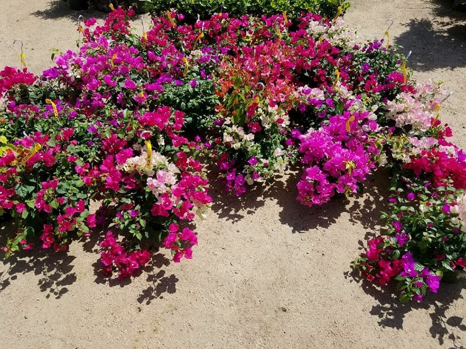 Bougainvillea hanging baskets in a variety of colors!