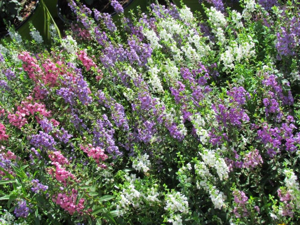 Angelonia in beautiful summer color!