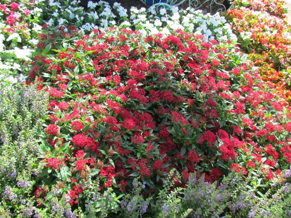 Bright, red Pentas.