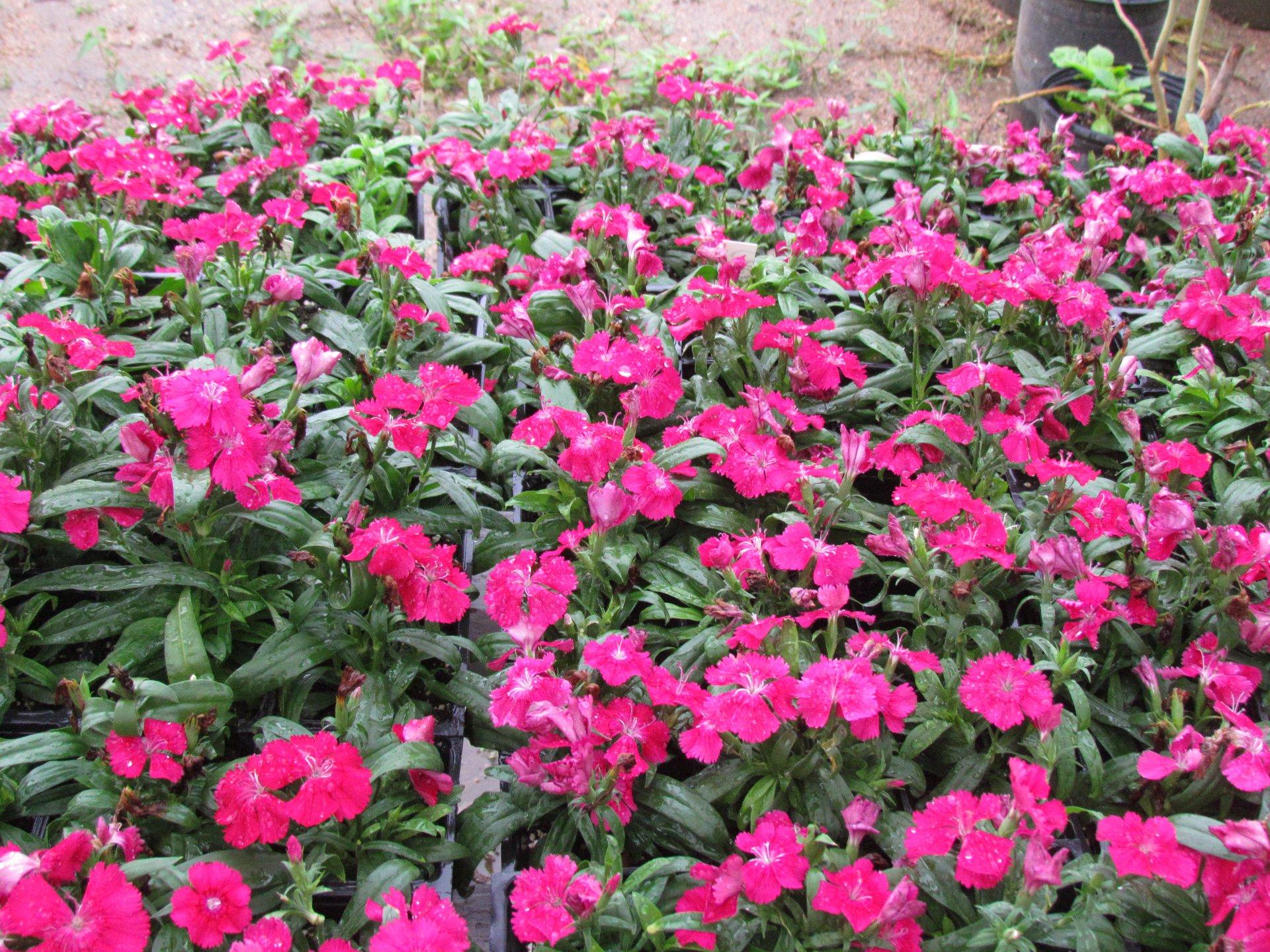 New Flats Of Flowers And Succulents At Jj Nursery J J Nursery