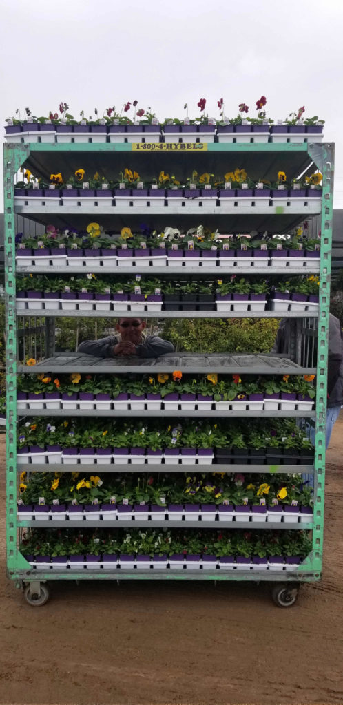 Flats of pansies fresh off the delivery truck!