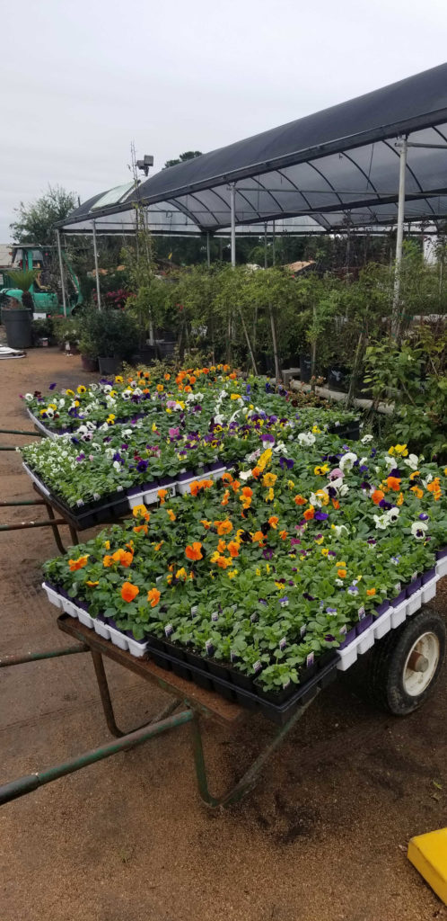 Pansies have just arrived at J&J Nursery!