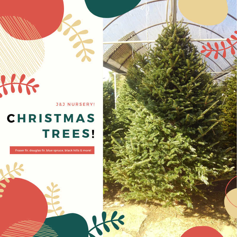 Be Jolly and make good cheer for Christmas Trees from J&J Nursery are here but once a year.