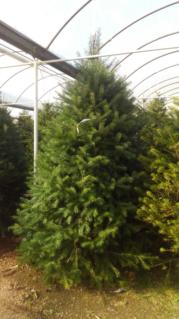 Don't get your tinsel in a tangle! Douglas firs are here!