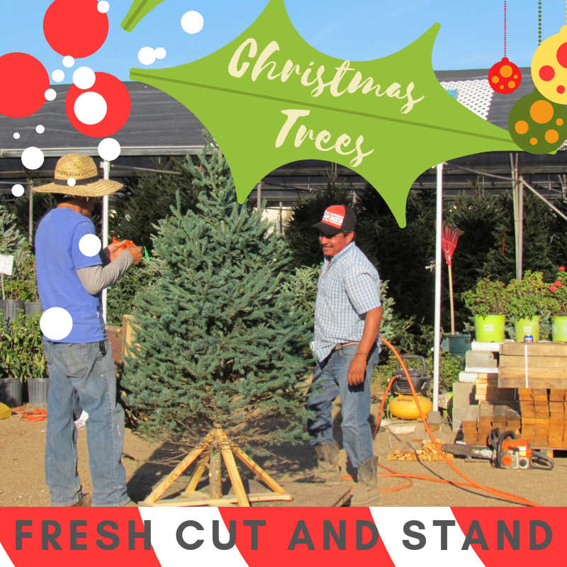 Fresh cut tree with stand.