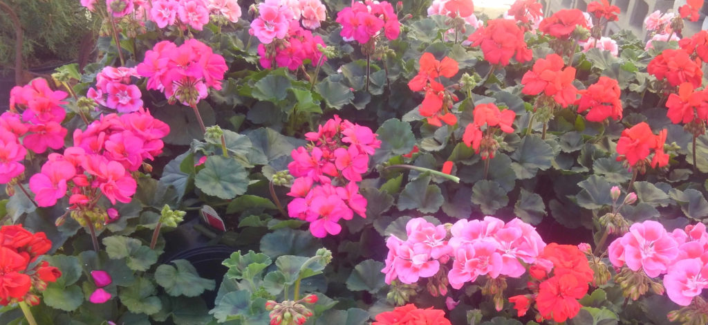 Beautiful geraniums at J&J Nursery!
