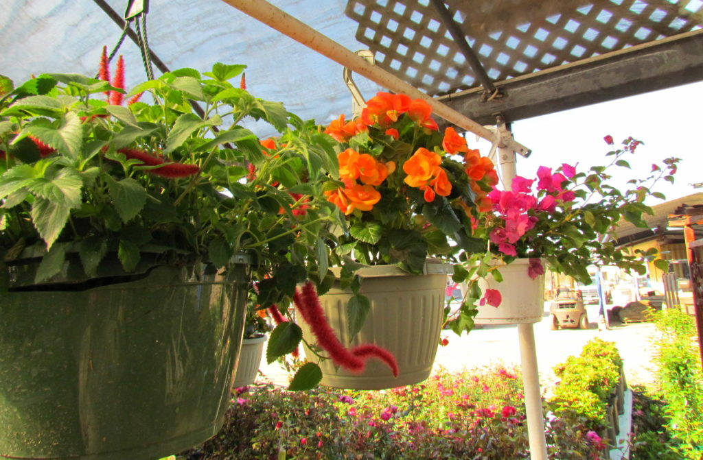 A large variety of hanging baskets!