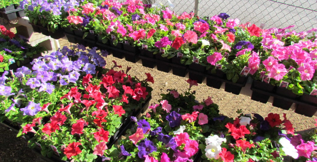 Colorful and bright petunia flats to brighten up any front yard or work site!