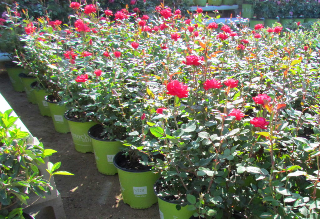 Knockout roses to bloom nearly all year long!