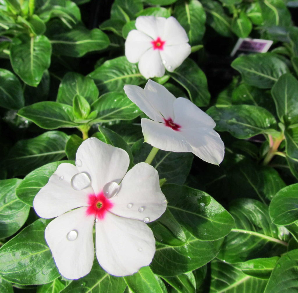 Vincas to bloom all summer long!