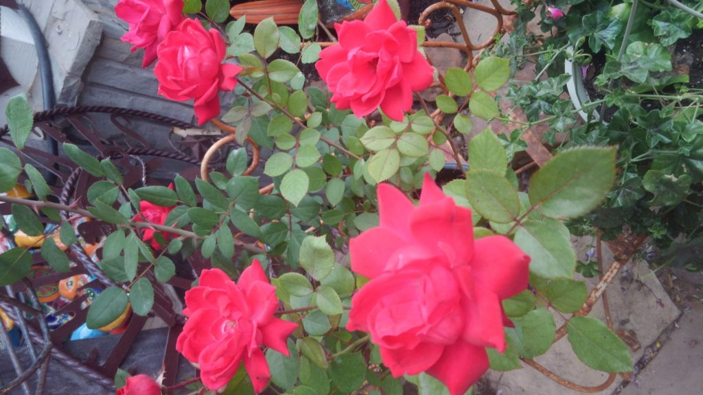 Gorgeous knockout roses! Will bloom on and off nearly all year!