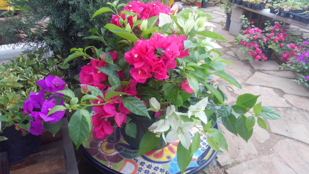 Mixed color bougainvillea hanging basket!