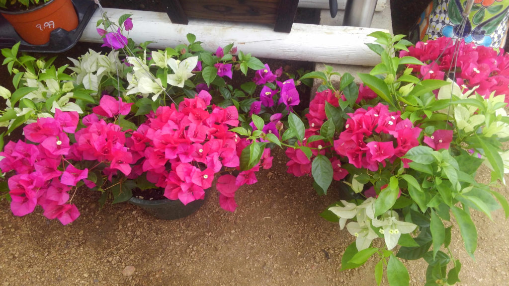 Mixed color bougainvillea hanging baskets!