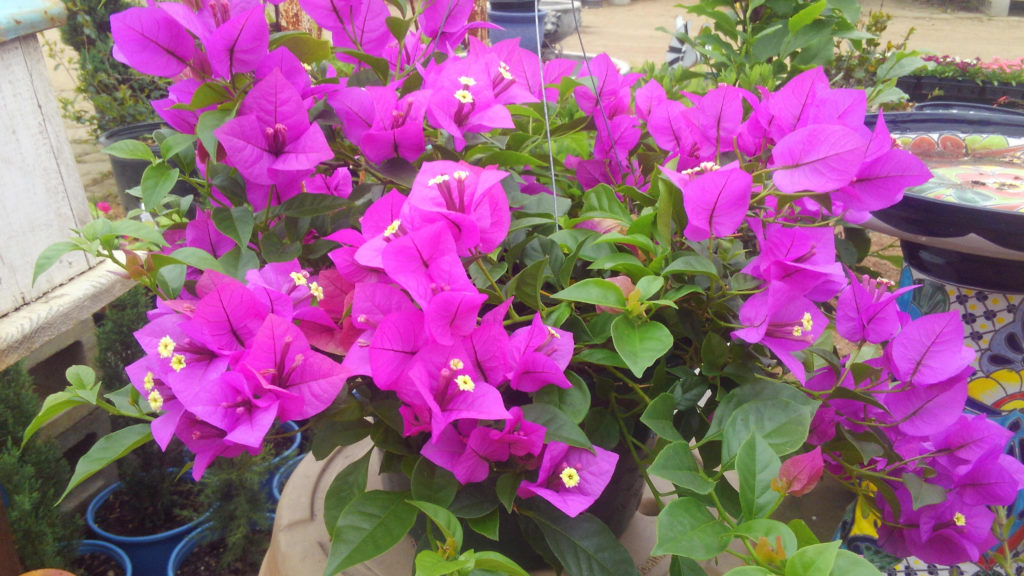 Beautiful purple bougainvillea!