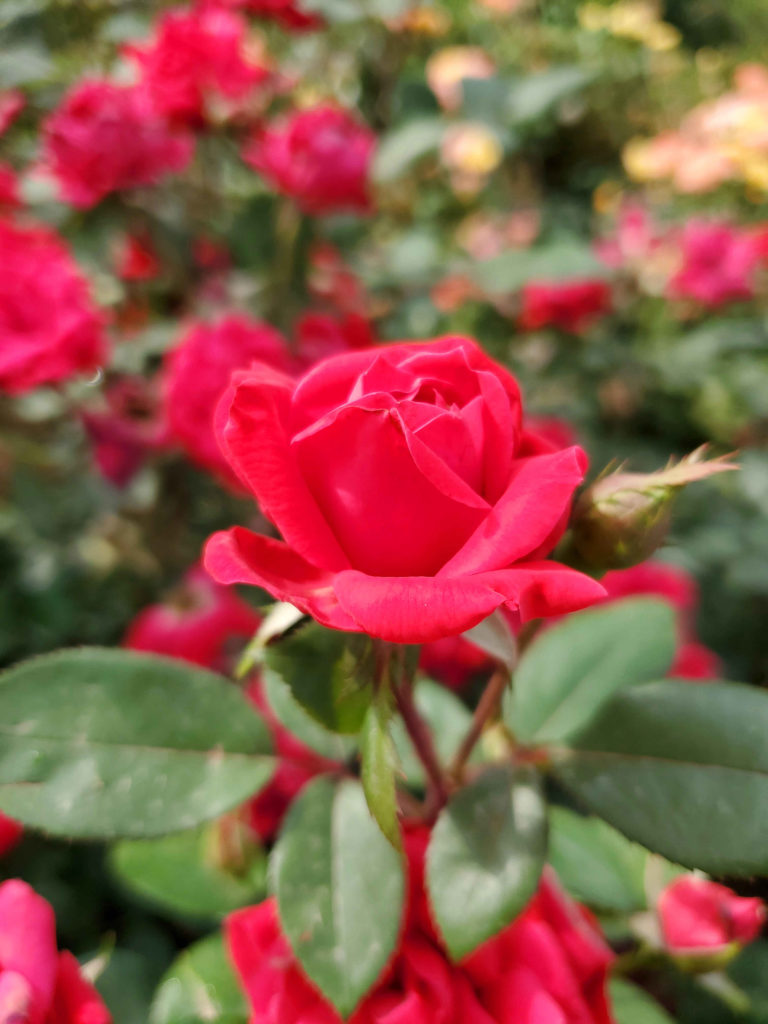 Bloom where you're planted like this beautiful knockout rose!