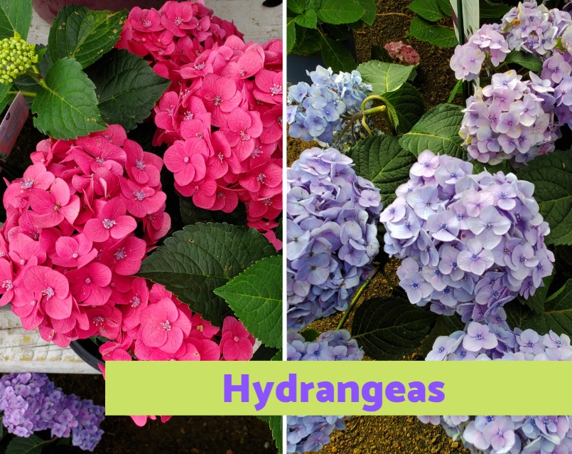 Hydrangea shrubs in full bloom!