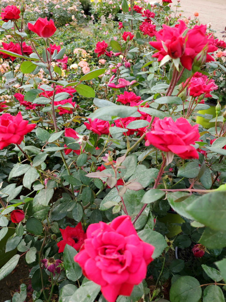 Beautiful knockout roses at J&J Nursery! Many colors to choose from!