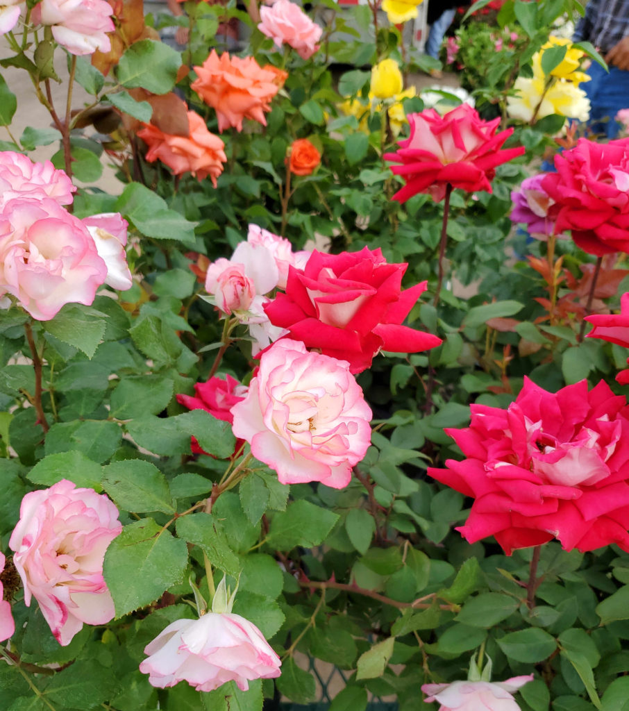 We have roses in many colors including pink, red, orange, lavender and multi-colored ones, too!