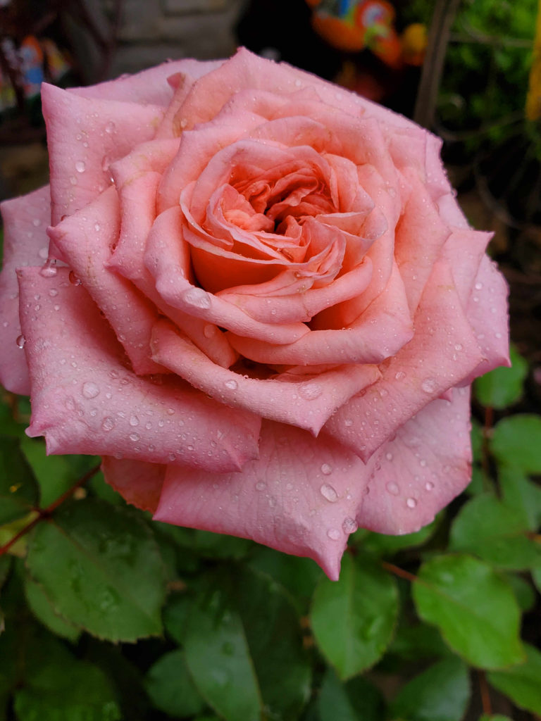 A little rain on a beautiful, scented rose!
