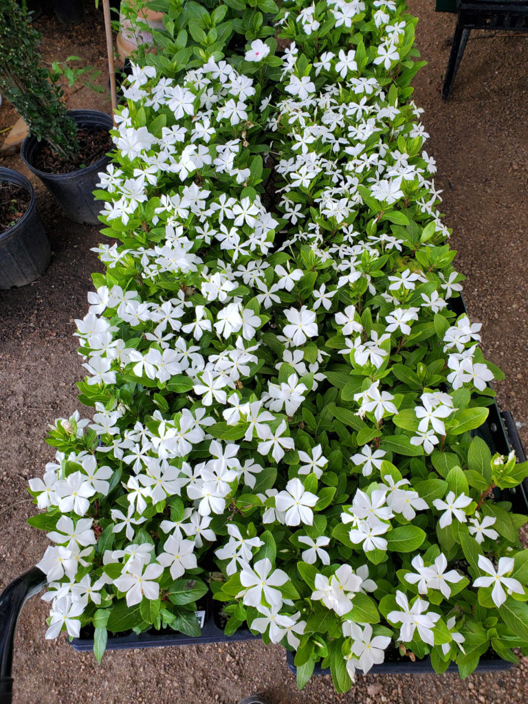 White vincas to brighten up your summer!