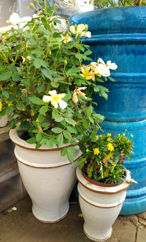 Beautiful popcorn yellow knockout roses in a pot!