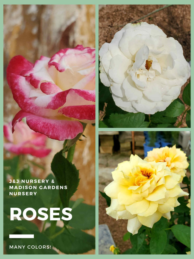 Roses are available at J&J Nursery!