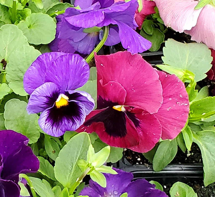 Pansies in cheerful colors to brighten up your fall and winter gardens!