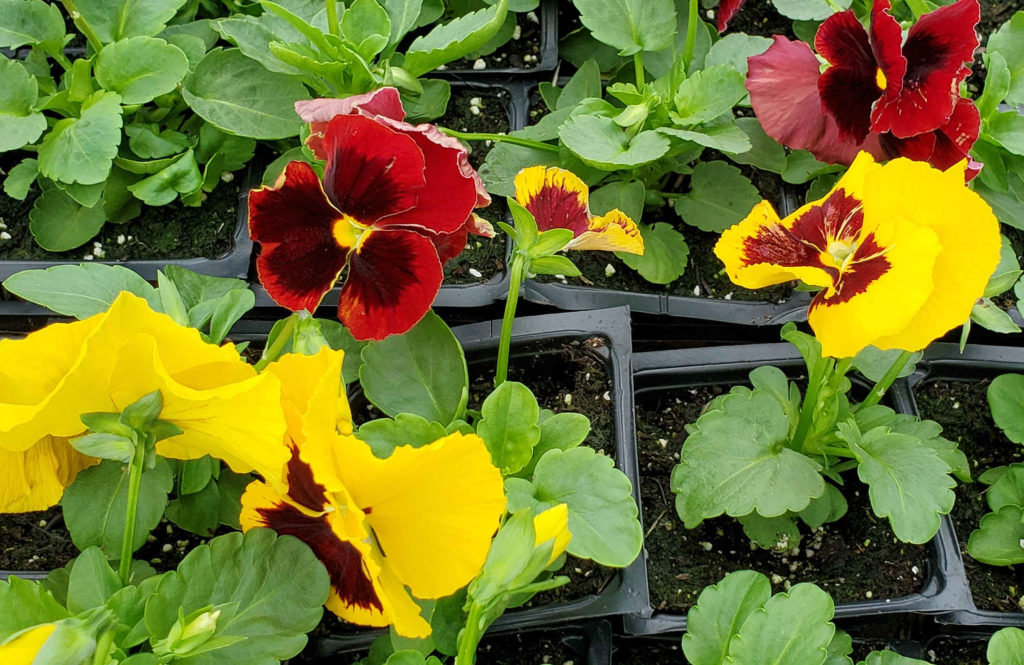 Beautiful pansies for fall in autumn colors!
