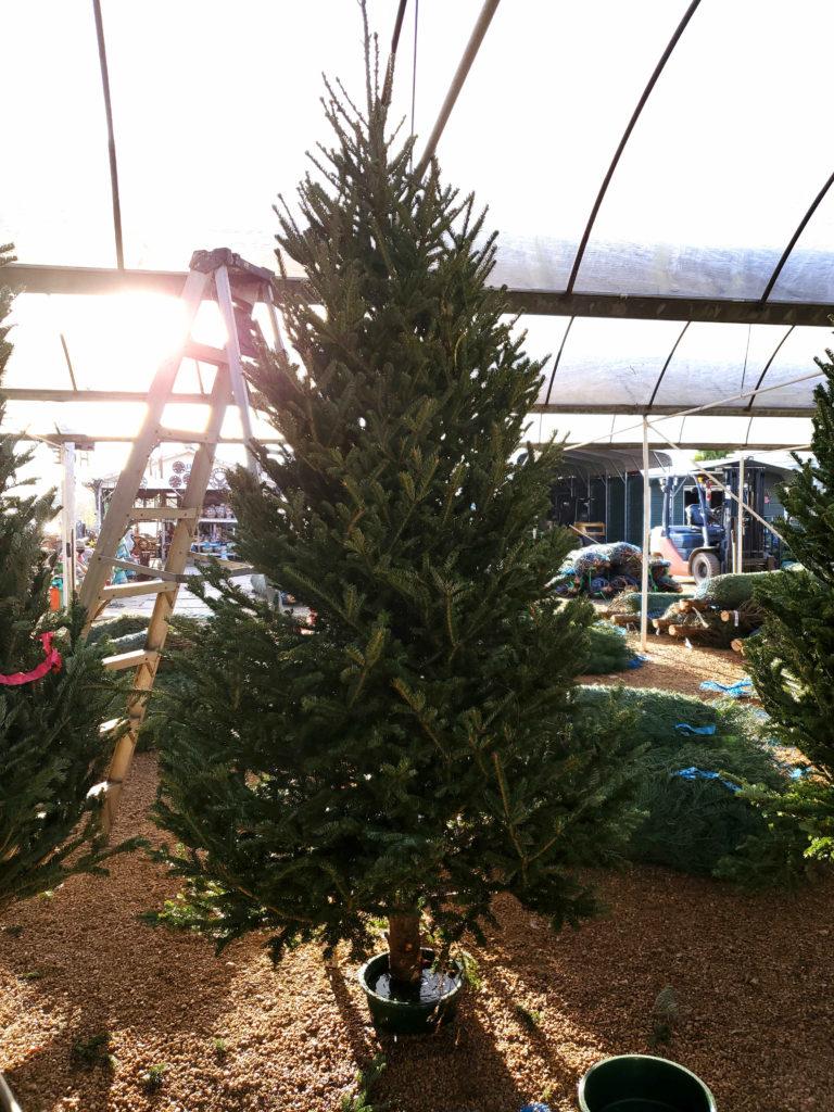 Real Christmas Trees have arrived at J&J Nursery!