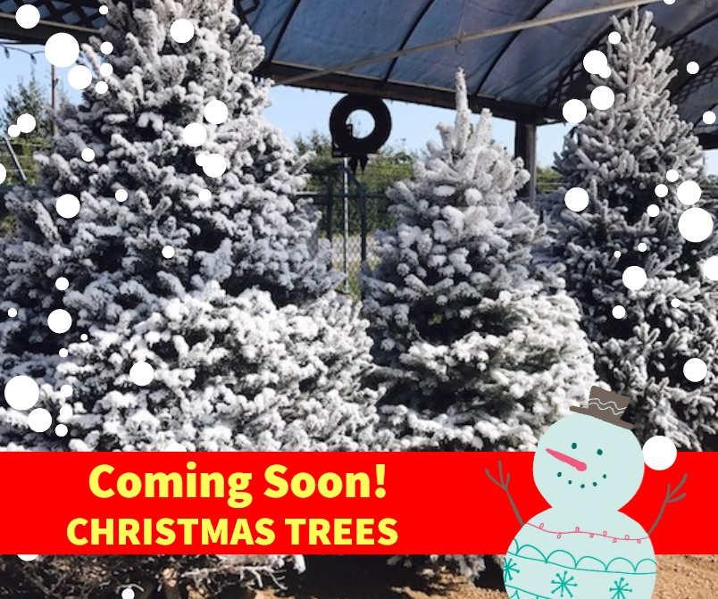 Real Christmas Trees coming soon to J&J Nursery!