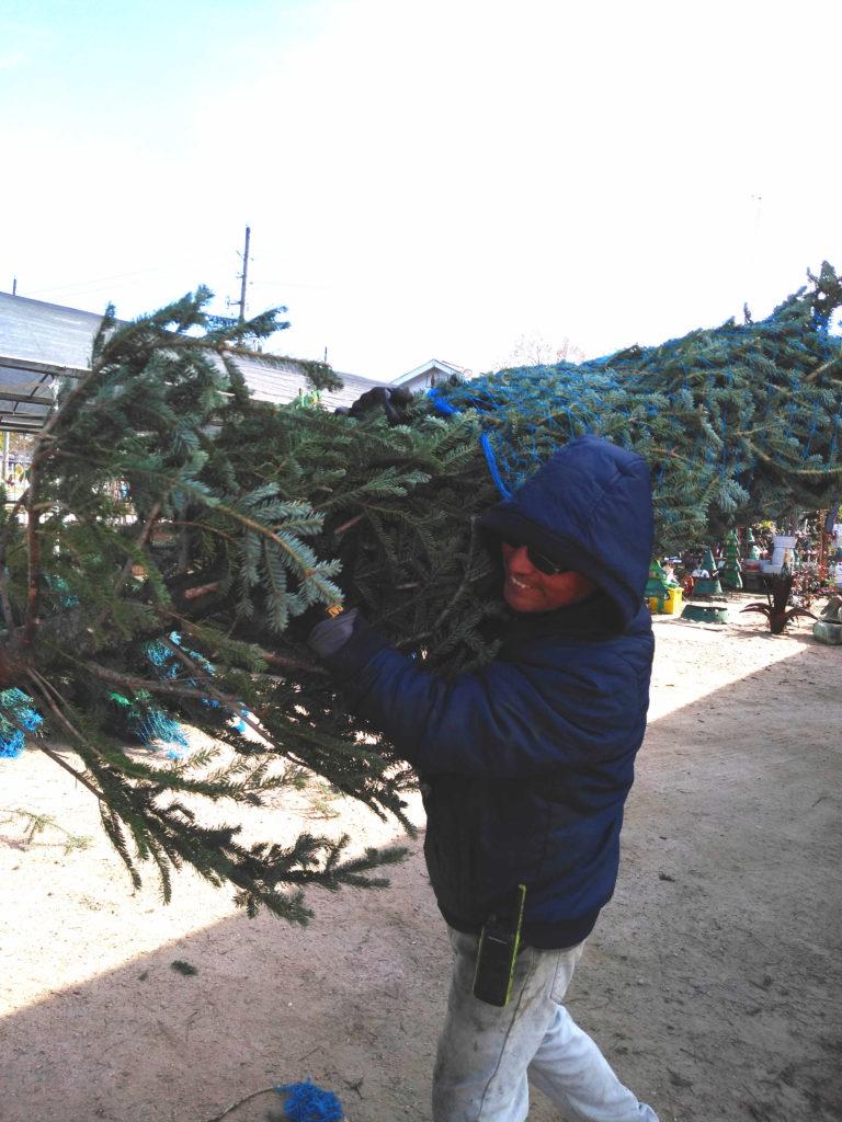 Unloading real Christmas Trees!