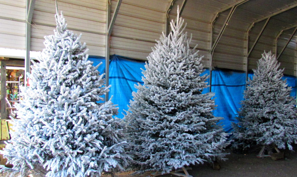 Flocked Christmas Trees! Pick a tree and get it flocked or get one that is already flocked!