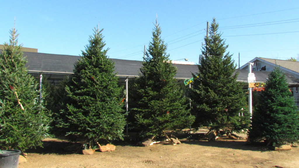 Tall, beautiful Fraser fir Christmas trees!