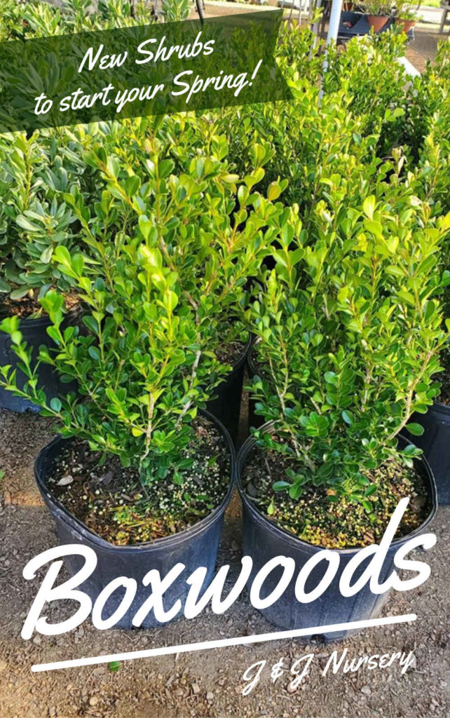 Beautiful 1g boxwood shrubs!