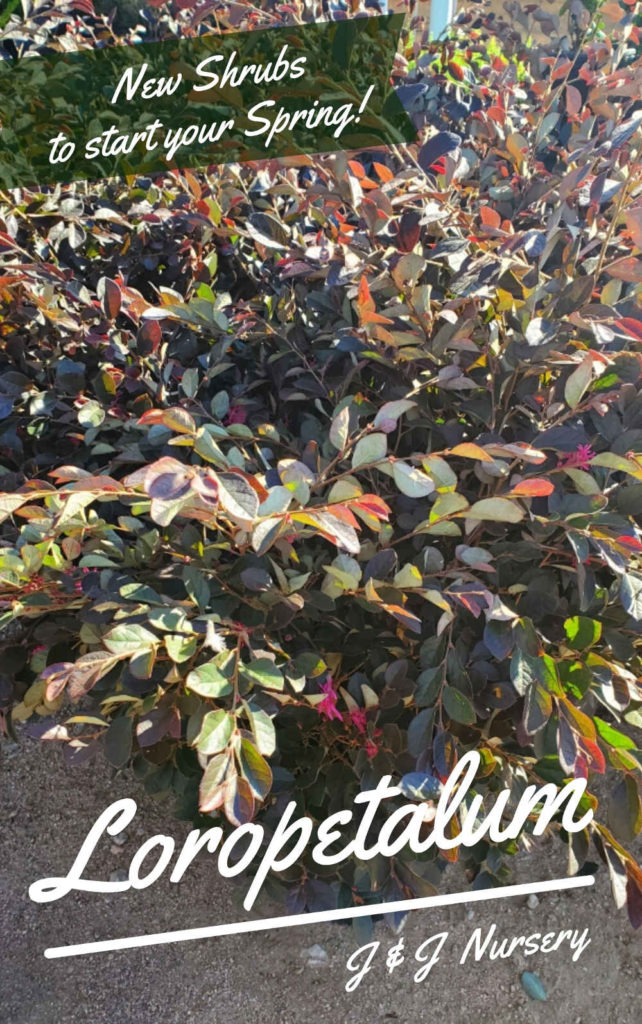 Gorgeous loropetalum stays a beautiful plum red color year round!