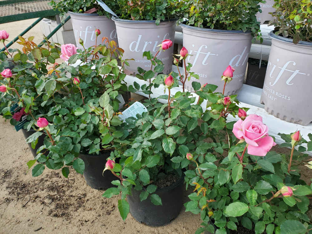 Belinda's Dream Roses!
